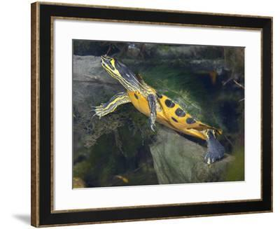 A Map Turtle with Moss Growing On It's Shell-Stocktrek Images-Framed Photographic Print