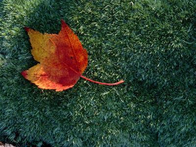 A Maple Leaf Lies on Emerald Moss in Autumn-George F^ Mobley-Photographic Print