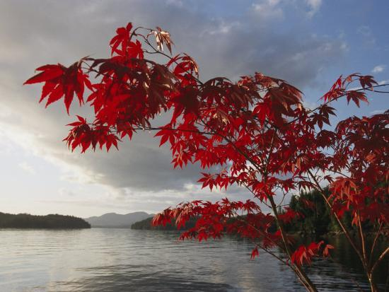 A Maple Tree in Fall Foliage Frames a View of Barnard Harbour-Richard Nowitz-Photographic Print
