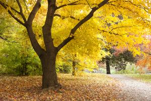 A Maple Tree in Full Colour in Arnold Arboretum, Boston, Usa