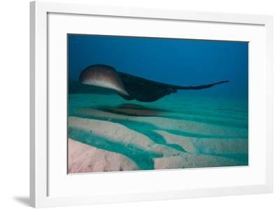 A Marbled Ray Hovers over the Sandy Ocean Floor-Ben Horton-Framed Photographic Print
