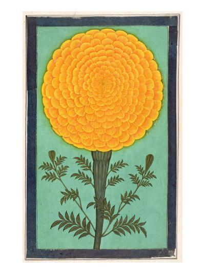 A Marigold, from the Small Clive Album--Giclee Print