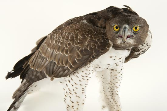A Martial Eagle, Polemaetus Bellicosus, at Tampa's Lowry Park Zoo-Joel Sartore-Photographic Print
