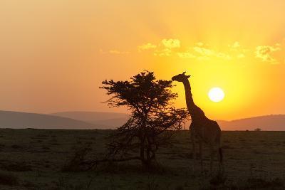 A Masai Giraffe, Giraffa Camelopardalis Tippelskirchi, Browsing at Sunset-Sergio Pitamitz-Photographic Print