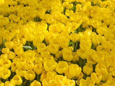 A Mass of Yellow Tulips at a Spring Exhibit-Mike Theiss-Photographic Print