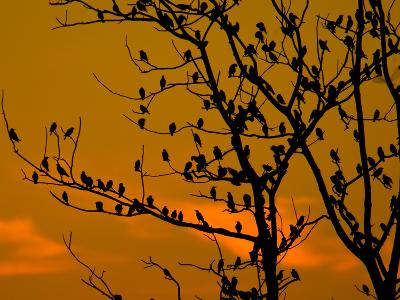 A Massive Group of Starlings Rest in a Tree at Sunrise-Alex Saberi-Photographic Print