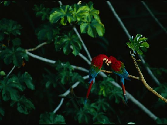 A Mated Pair of Red-And-Green Macaws Exhibit Bonding Behavior-Joel Sartore-Photographic Print