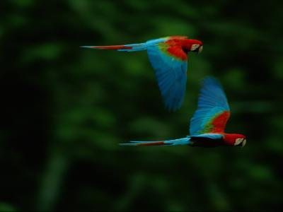 A Mated Pair of Red-And-Green Macaws Soar Above the Forest-Joel Sartore-Photographic Print