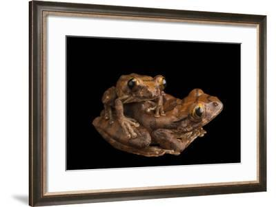 A mating pair of red tree frog, Leptopelis rufus, from the wild.-Joel Sartore-Framed Photographic Print