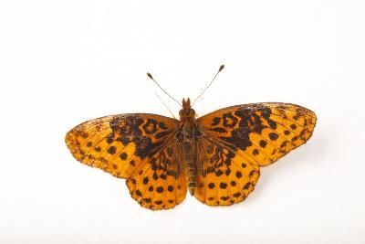 A Meadow Fritillary Butterfly, Boloria Bellona, from Cross Lake, Minnesota-Joel Sartore-Photographic Print
