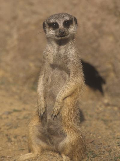A Meerkat Lookout Near its Den Opening, Suricata Suricatta, Southern Africa-Adam Jones-Photographic Print