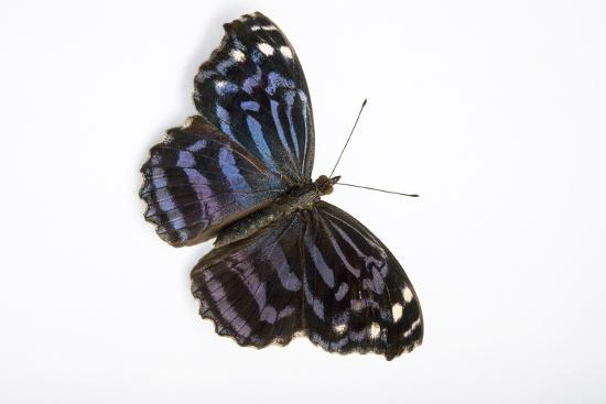 A Mexican Bluewing Butterfly, Myscelia Ethusa, at the Minnesota Zoo-Joel Sartore-Photographic Print