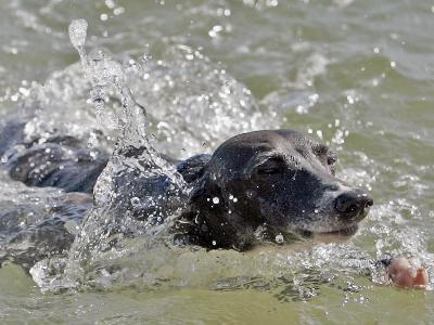 A Mini Italian Greyhound Named Gi--Photographic Print