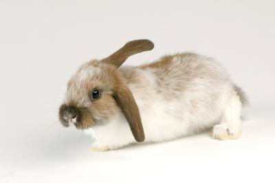 A Mini Lop-Eared Rabbit, Oryctolagus Cuniculus, at the Safari Land Pet Store.-Joel Sartore-Photographic Print