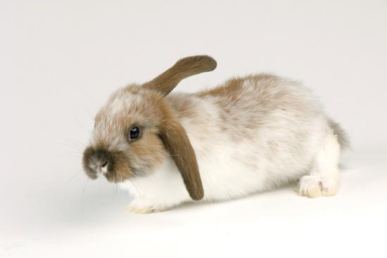 A Mini Lop-Eared Rabbit, Oryctolagus Cuniculus, at the Safari Land Pet Store.-Joel Sartore-Photographic Print