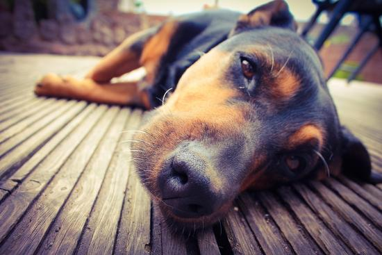 A Mixed Breed Dog Dozing on Wooden Deck-Jo millington-Photographic Print