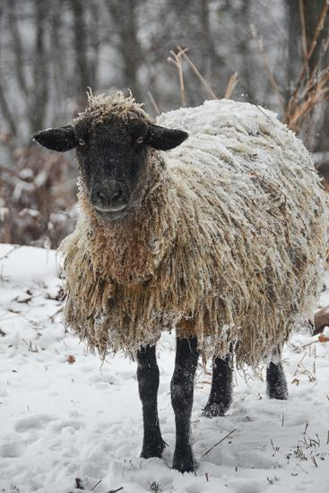 A Mixed Breed Sheep Ewe Standing in Snow-Amy White and Al Petteway-Photographic Print