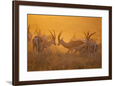 A Mixed Herd of Male and Female Grant's Gazelles on the Serengeti Plains-Michael Nichols-Framed Photographic Print