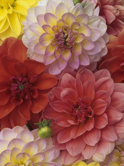 A Mixture of Watercolors Variety Dahlia Flowers-Wally Eberhart-Photographic Print