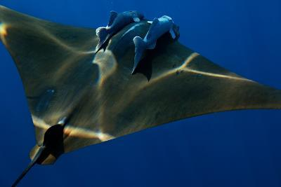 A Mobula Ray with Two Remora-Like Fish Swimming over the Gamelas Seamount-Luis Lamar-Photographic Print