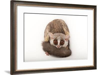 A Mohol Bushbaby, Galago Moholi, at the Cleveland Metroparks Zoo-Joel Sartore-Framed Photographic Print