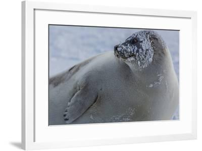 A Molting Juvenile Harp Seal Rests at the Iles De La Madeleine in the Gulf of Saint Lawrence-Cristina Mittermeier-Framed Photographic Print
