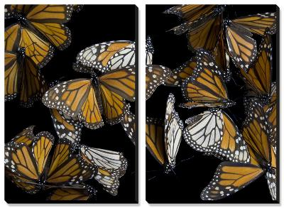 A Monarch Butterfly (Danaus Plexippus)-Joel Sartore-Canvas Art Set