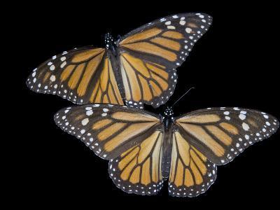 A Monarch Butterfly, Danaus Plexippus-Joel Sartore-Photographic Print