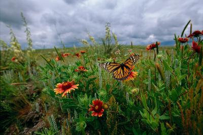 A Monarch Butterfly Lands on Wildflowers-Michael Forsberg-Photographic Print