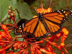 A Monarch Butterfly Rests on the Flowers of a Pagoda Plant