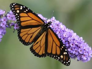 A Monarch Butterfly Spreads its Wings as It Feeds on the Flower of a Butterfly Bush