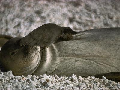 https://imgc.artprintimages.com/img/print/a-monk-seal-scratches-its-face-with-its-flipper_u-l-p4rdlk0.jpg?p=0