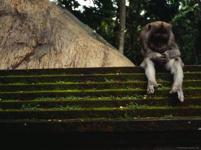 A Monkey Sits Contemplatively on a Temple Wall in the Ubud Monkey Forest--Photographic Print