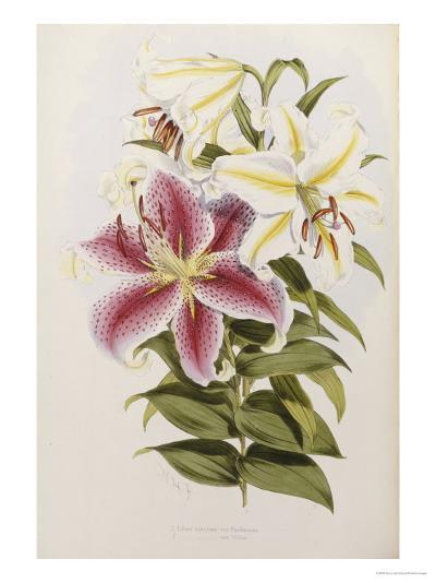 A Monograph of the Genus Lilium, Late 19th Century-Henry John Elwes-Giclee Print