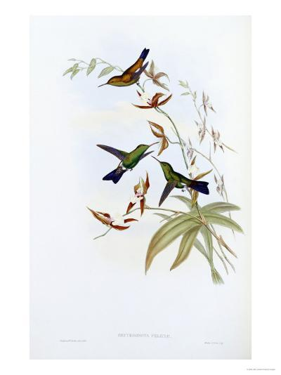 A Monograph of the Trochilidae or Family of Hummingbirds, Published 1849-1861-John Gould-Giclee Print
