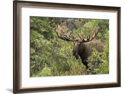 A Moose, Alces Alces, in Forest in Denali National Park-Charles Smith-Framed Photographic Print