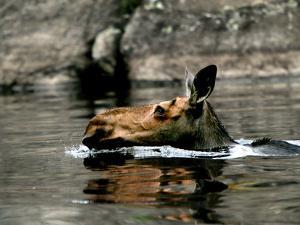 A Moose Cools Off