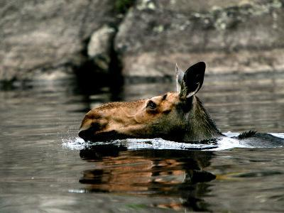 A Moose Cools Off--Photographic Print