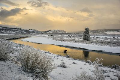 A Moose Fords Buffalo Fork River Near Grand Teton-Charlie Hamilton James-Photographic Print