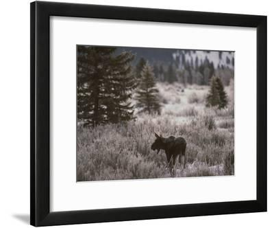 A Moose in a Frost-Covered Field, Grand Teton National Park-Raymond Gehman-Framed Photographic Print