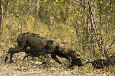 A Mother African Wild Dog, Lycaon Pictus, Play Fighting with its Pups-Beverly Joubert-Photographic Print
