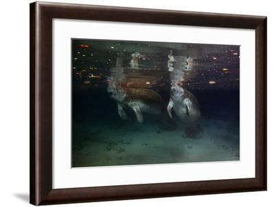 A Mother and Calf West Indian Manatee Rise to the Surface-Ben Horton-Framed Photographic Print