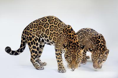 A Mother and Son Jaguar, Panthera Onca, at the Brevard Zoo-Joel Sartore-Photographic Print
