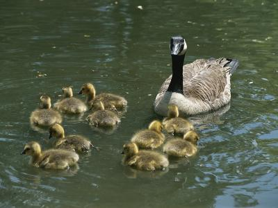 A Mother Canada Goose Watches over Ten Fuzzy Babies as They Swim-Stephen St^ John-Photographic Print