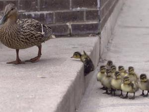 A Mother Duck, Left, Takes Her Ducklings for a Walk up a Flight of Cement Steps