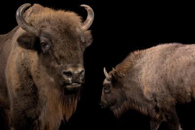 A Mother European Bison, Bison Bonasus, and Her Calf at Parco Natura Viva-Joel Sartore-Photographic Print