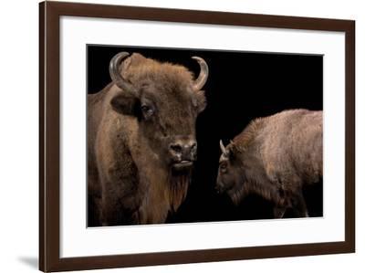 A Mother European Bison, Bison Bonasus, and Her Calf at Parco Natura Viva-Joel Sartore-Framed Photographic Print
