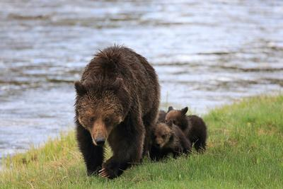 https://imgc.artprintimages.com/img/print/a-mother-grizzly-bear-ursus-arctos-walking-with-her-cubs-alongside-a-river_u-l-polgy00.jpg?p=0
