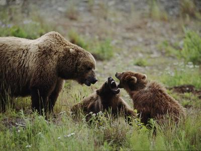 A Mother Grizzly Bear Watches as Her Two Cubs Play-Joel Sartore-Photographic Print