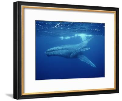 A Mother Humpback Whale and Her Baby-Wolcott Henry-Framed Photographic Print